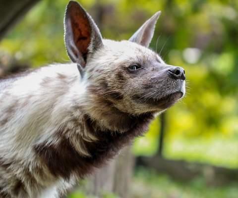 zoologijos-sode-besijuokianti-ir-atnaujintu-namu-laukianti-hiena