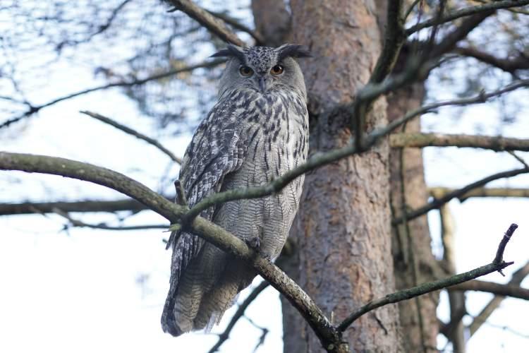 lietuvos-zoologijos-sode-uzaugintas-apuokas-paleistas-i-gamta