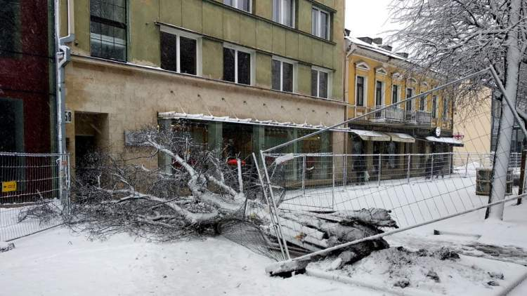https://www.kaunieciams.lt/wp-content/uploads/2019/02/sutresusi-liepa-kauno-laisves-alejoje-neatlaike-gausaus-sniego.jpg