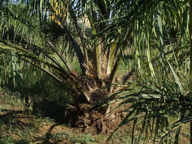 europos-komisija-stojo-pries-palmiu-alieju-degaluose