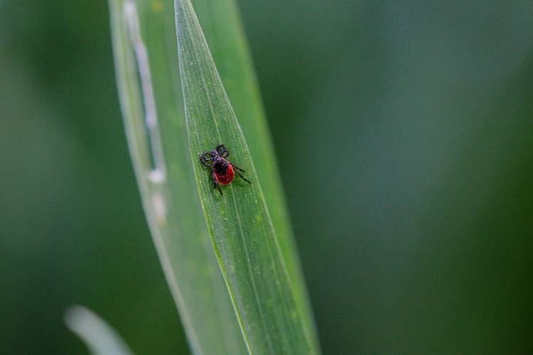 pavojingi-parazitai-jau-pabudo-kaip-apsisaugoti-nuo-erkiu