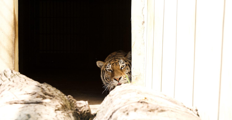 https://www.kaunieciams.lt/wp-content/uploads/2019/07/tigras_kaunas-zoo_5-min.jpg